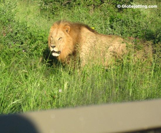 botswana-lion-landrover-copyright-dave-fox-globejotting