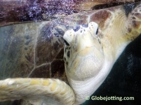 bobby-the-sea-turtle-copyright-dave-fox-globejotting