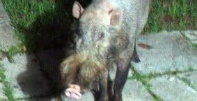 A Tale of Two Boars – Part Two