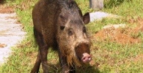 A Tale of Two Boars – Part One
