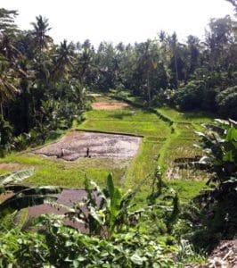 ubud-rice-paddy-copyright-dave-fox-globejotting-dot-com